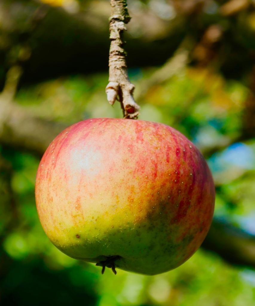 Ein Apfel, vielleicht auch ein Symbol für den Garten Eden?