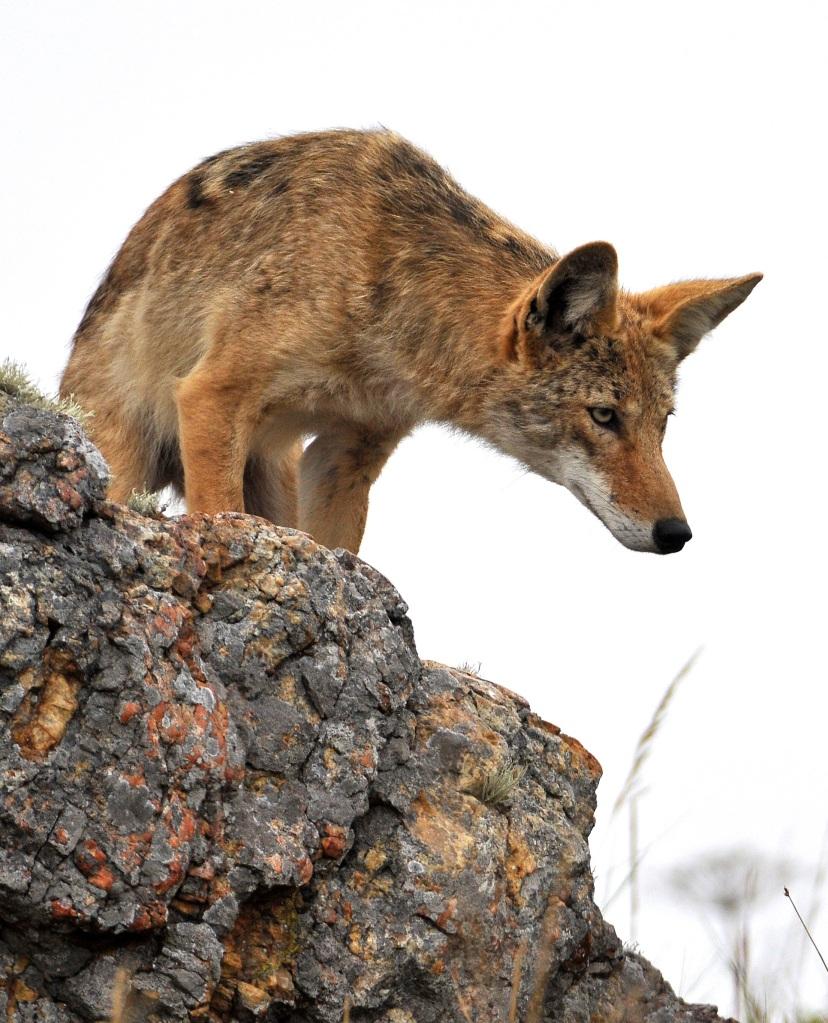 Foto eines neugierigen Koyoten auf einem Felsen